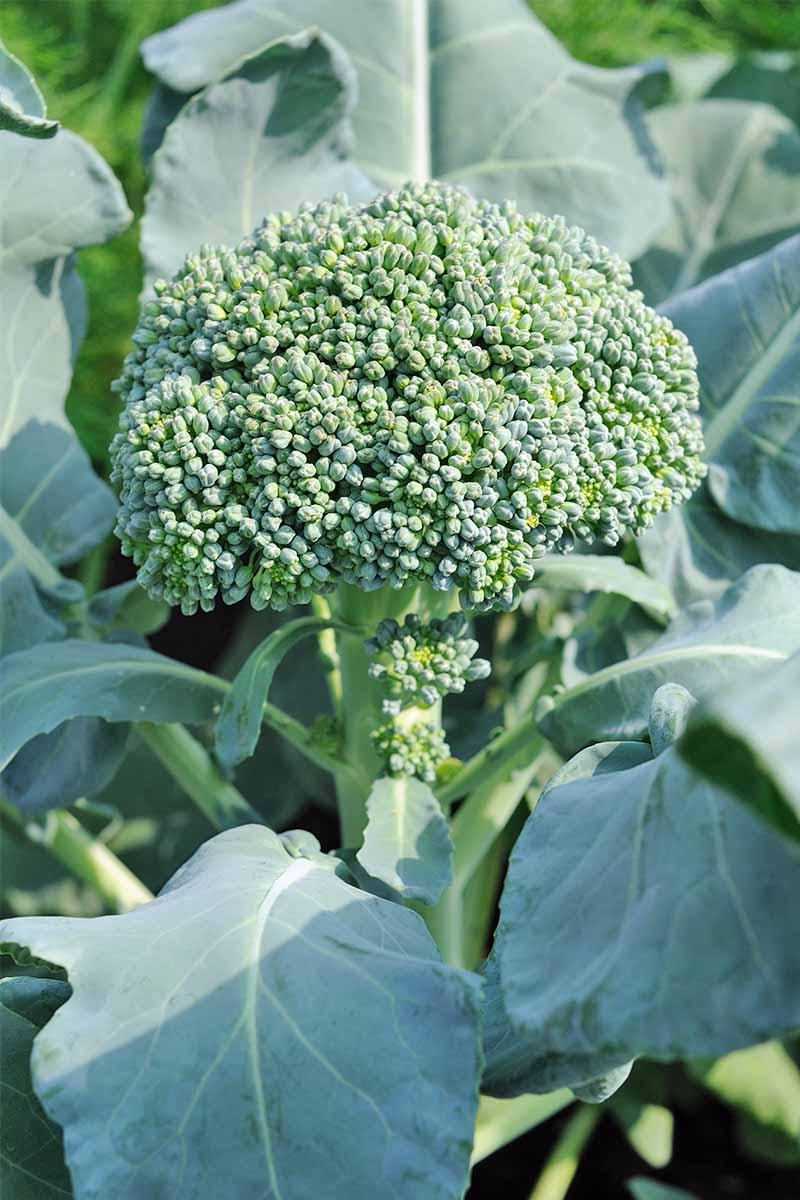 "3 Live 3-5/"" inch Seedlings Calabrese Broccoli Delicious Healthy Heirloom"