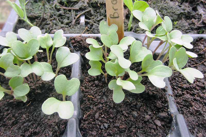 Small light green broccoli seedlings grow in black dirt in a black plastic seed starting container with a popsicle stick marker.