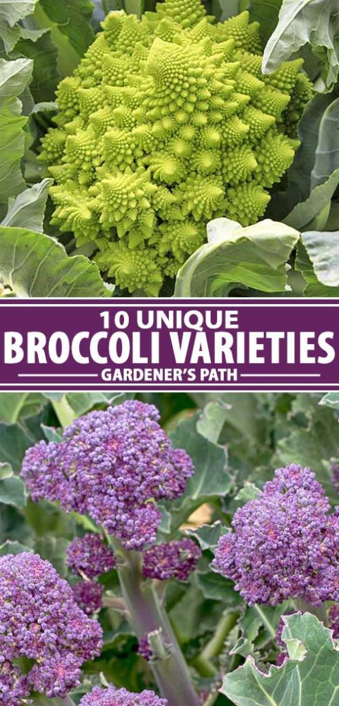 A collage of photos showing different types of broccoli cultivars.