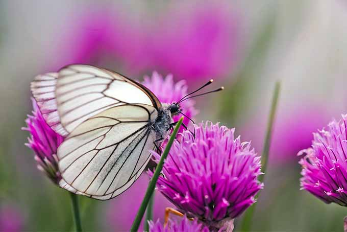 A white butterfly pollinates a pink chive flower, with more flowers in soft focus in the background.