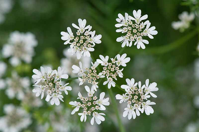Top-down shot of white coriander flowers, growing in star-shaped clusters.
