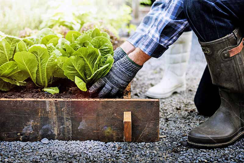 A man's legs and arms are visible at the right of the frame, clothed in black jeans, black rubber boots, a blue and white plaid shirt, and gray gloves, tending to green lettuce plants in a wood framed raised bed, with gravel on the ground around it, with a woman's white boots visible in the background.