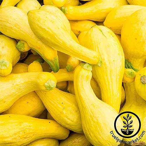 Closeup of a pile of bright yellow crookneck squash.