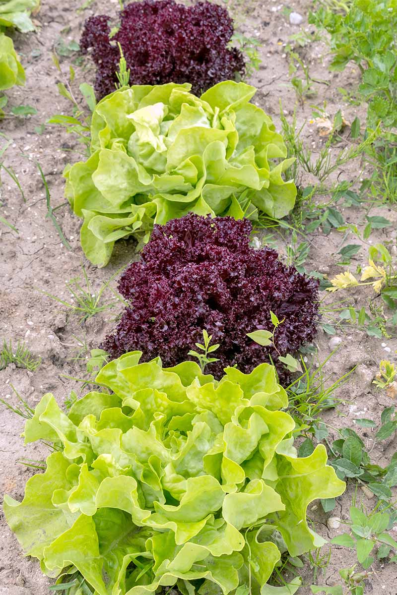 Vertical image of a row of alternating ruffled green and red lettuces.