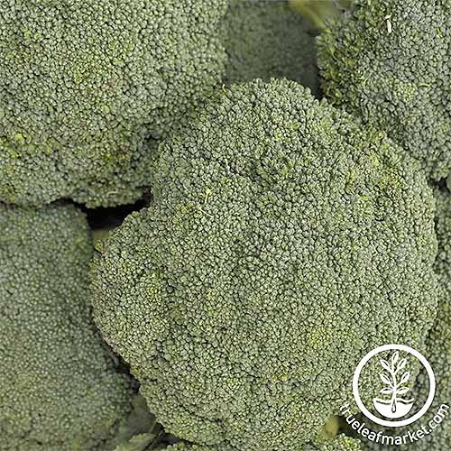Gray-green 'Destiny' broccoli heads closely cropped in a square frame.