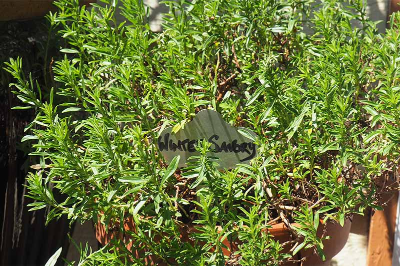 An evergreen winter savory plant growing in a large terracotta pot in bright sunshine with plant tag.