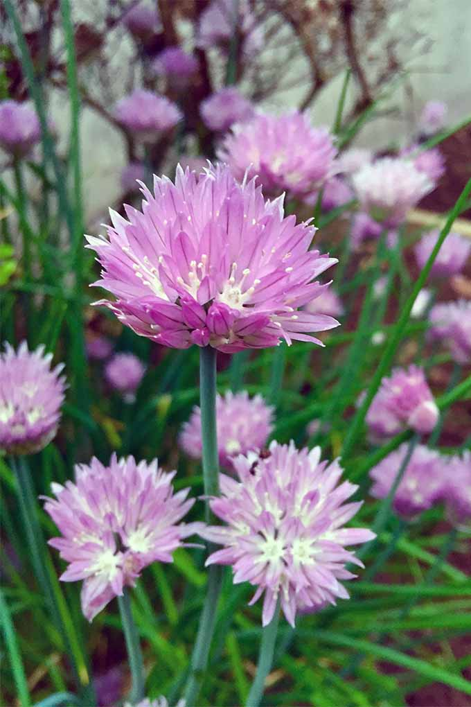 Pink flowering chives with green blades.