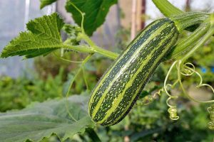 Your Summer Squash Growing Guide