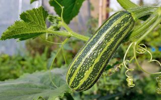 A zucchini with light and dark green stripes grows in the garden, on a plant with thick stems and large leaves.