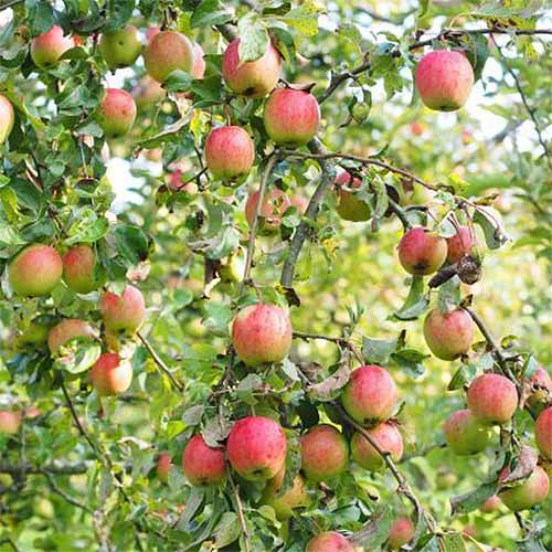 Closeup of 'Gala' apples growing on a tree.
