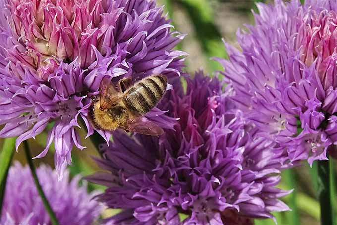 Fluffy purple chive flowers being pollinated by a black and yellow honeybee.