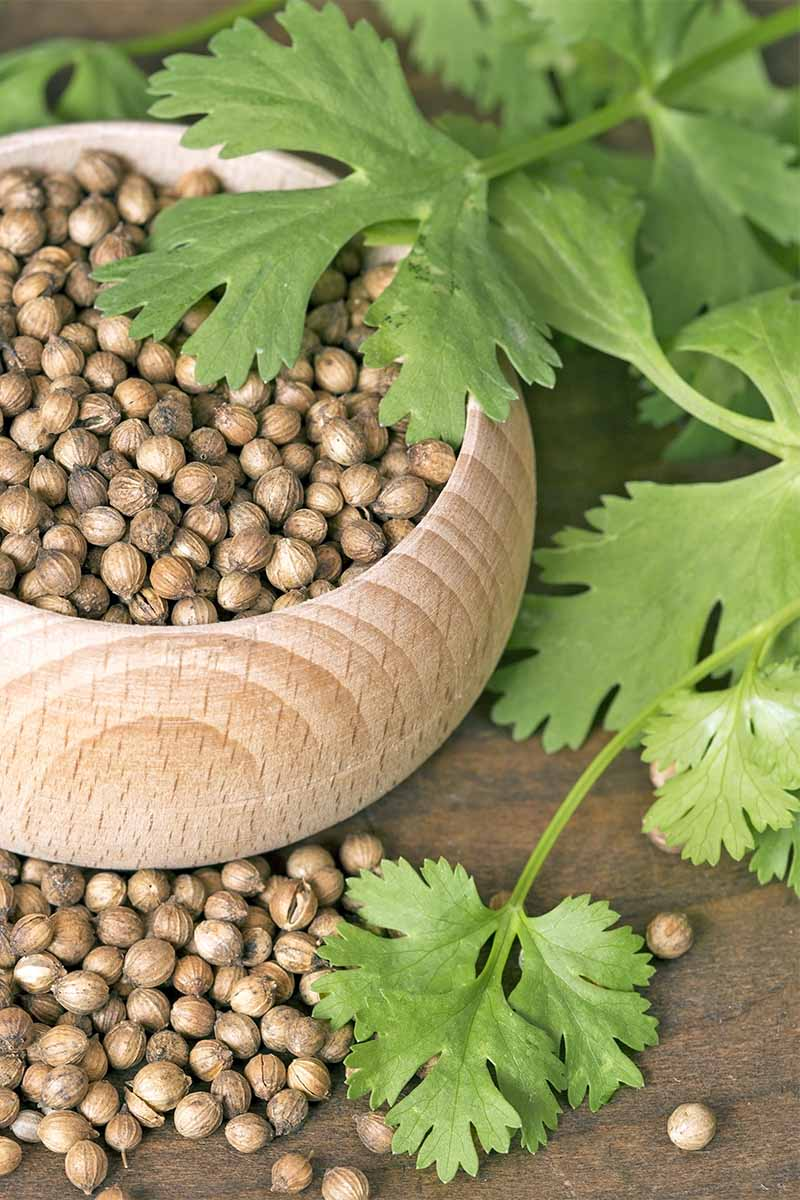 A small wood bowl filled with round brown coriander seeds to the left of a few sprigs of cilantro leaves, on a brown background.