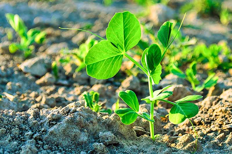 A tiny green pea shoot with leaves that resemble clover, growing in dappled sunshine in light brown soil.