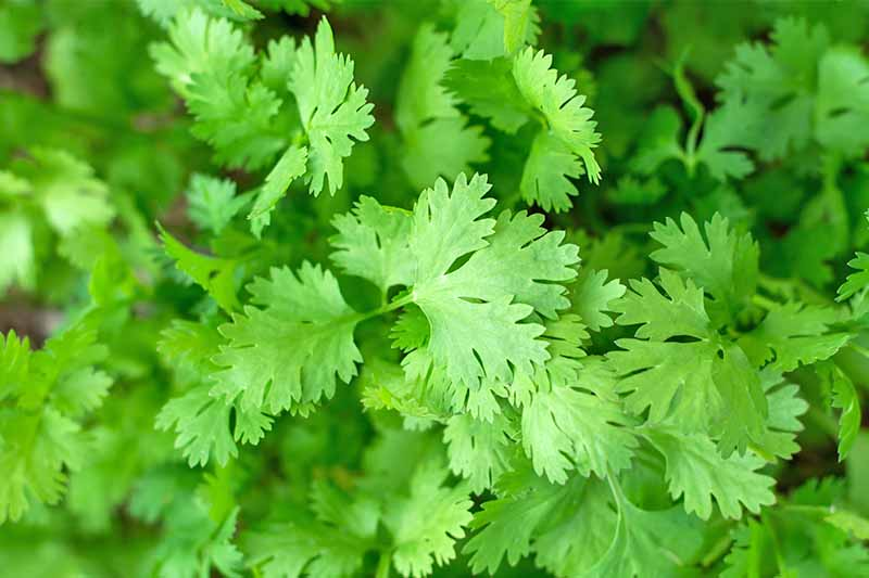 Closeup of green coriander leaves, filling the frame.