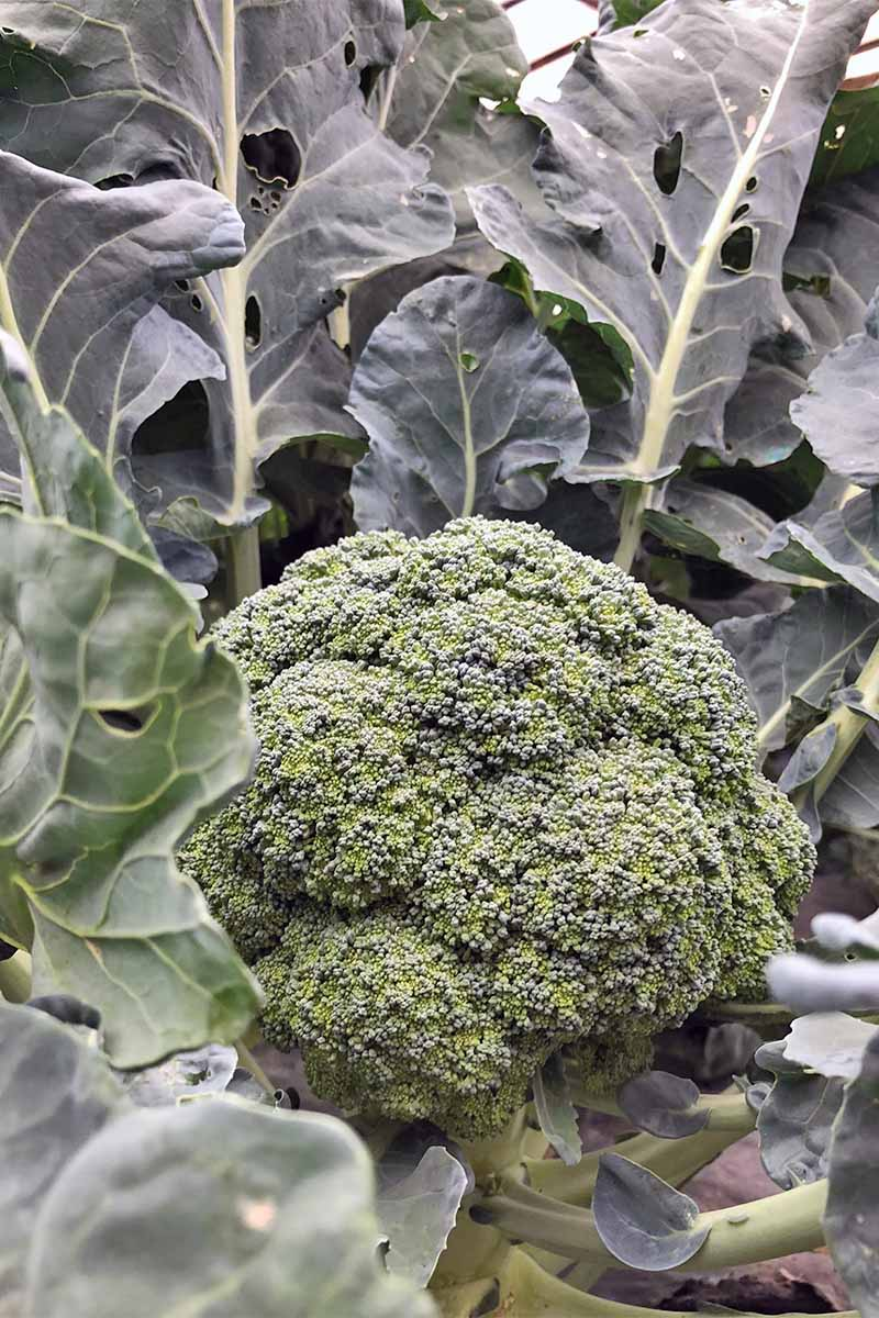 A round, green broccoli crown is growing at the center of a plant with large ruffled gray-green leaves.