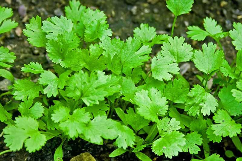 Green parsley growing in the garden, in brown soil.