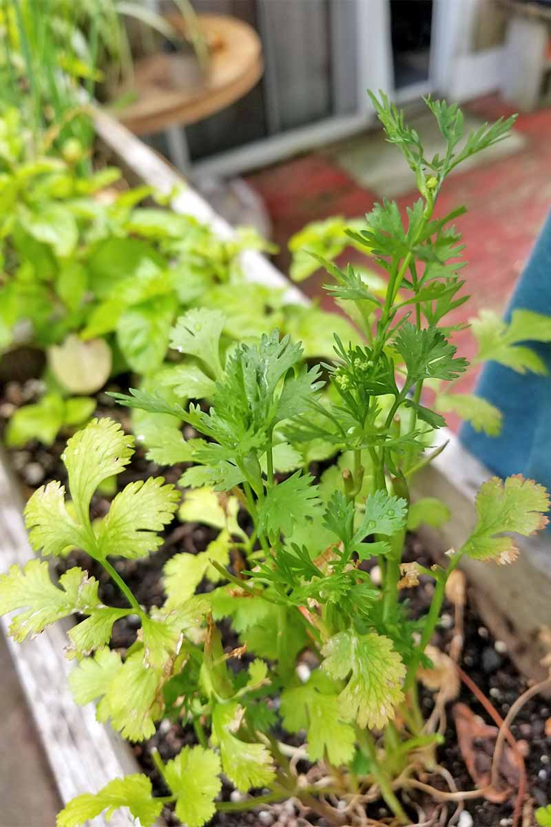 Learn How To Grow Cilantro And Coriander Gardener S Path