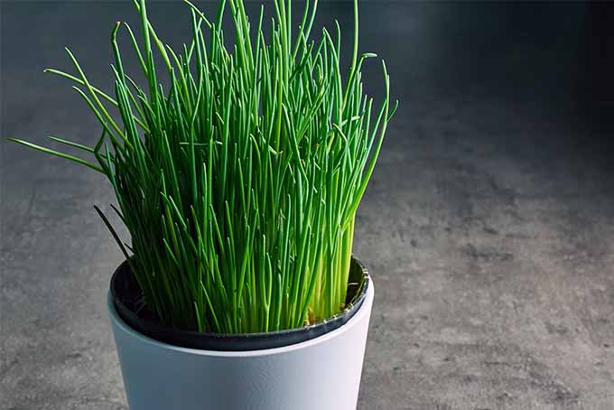 A healthy green chive plant that resembles grass, growing in a white ceramic flower pot on a gray background.