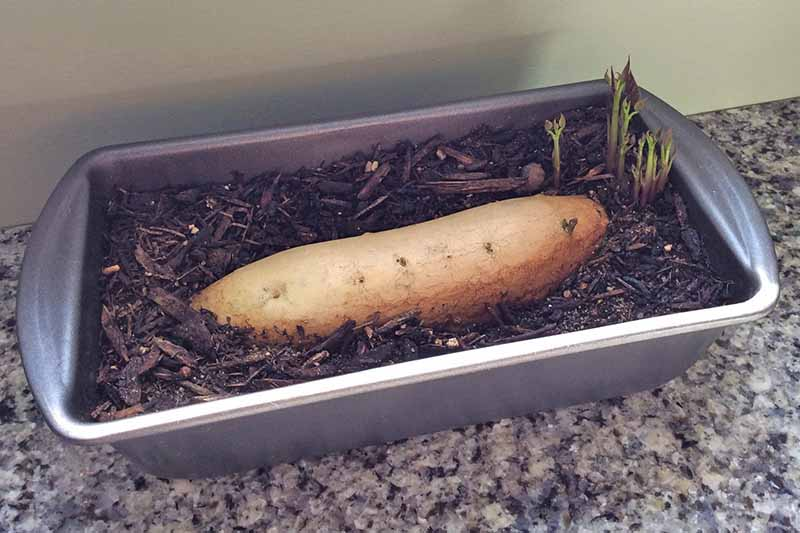 A beige-skinned sweet potato planted horizontally in a metal loaf pan filed with brown soil and mulch, with green shoots sprouting from the right end, on a granite countertop with a white wall in the background.