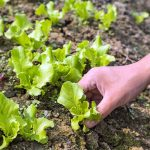 A woman's hand is about to pluck green ruffled baby lettuce leaves from a garden patch.
