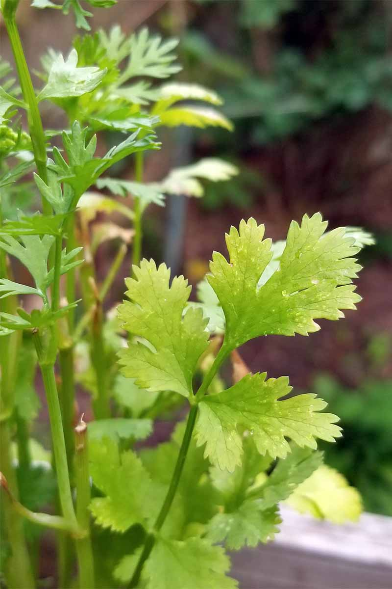 Closeup of a greenish yellow cilantro leaf on a plant with long, thin stems.