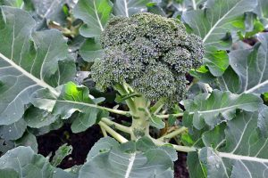 How to Plant and Grow Broccoli