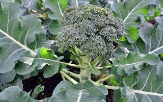 A green head of maturing broccoli grows at the center of the plant, with large green leaves that radiate out from a central point.