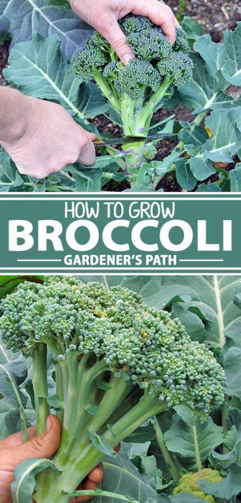 A collage of photos showing broccoli growing in a garden setting.