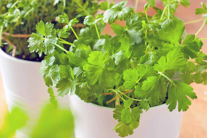 Cilantro growing on two white plastic pots on a peach-colored background.