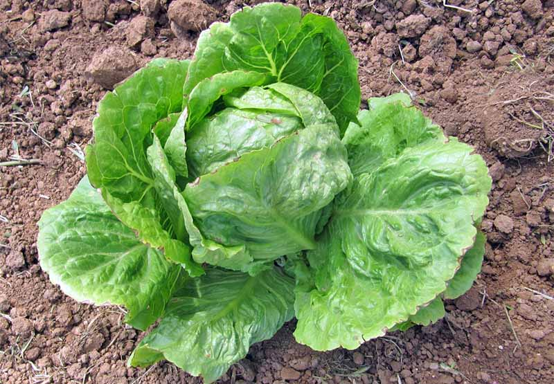 A green head of iceberg lettuce growing in brown soil.