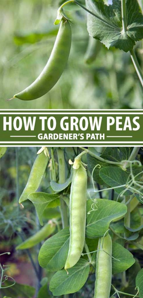 A collage of photos showing different views of peas growing in a food garden.
