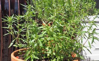 Summer Savory: The Peppery, Piquant Love Herb