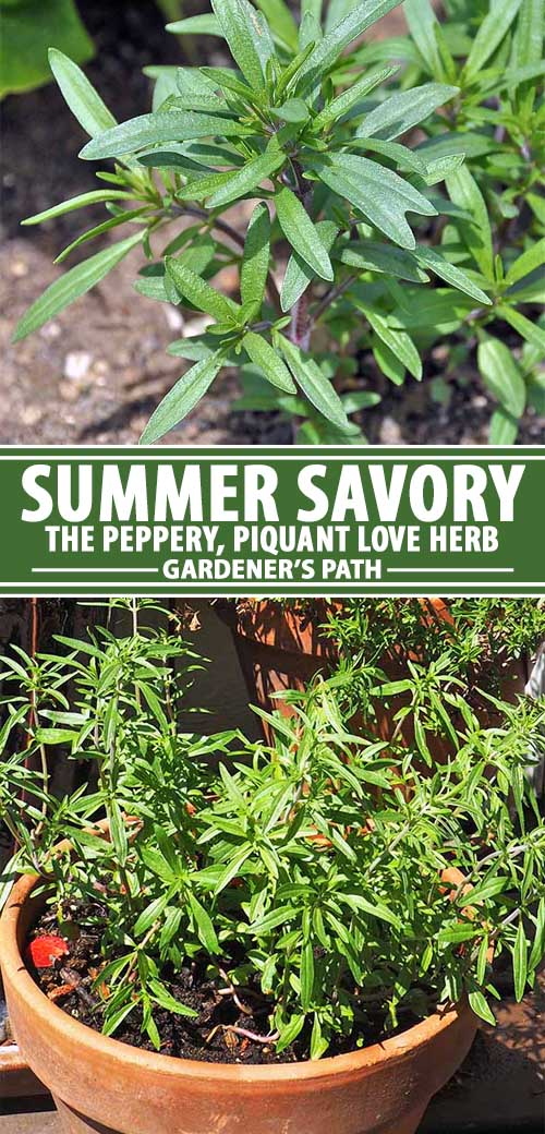 A collage of pins showing different views of summer savory in a garden.