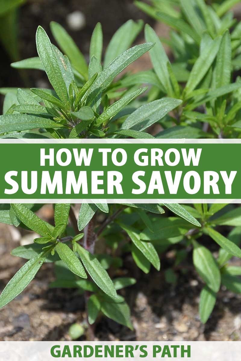 Close up of a summer savory plant growing in a herb garden.