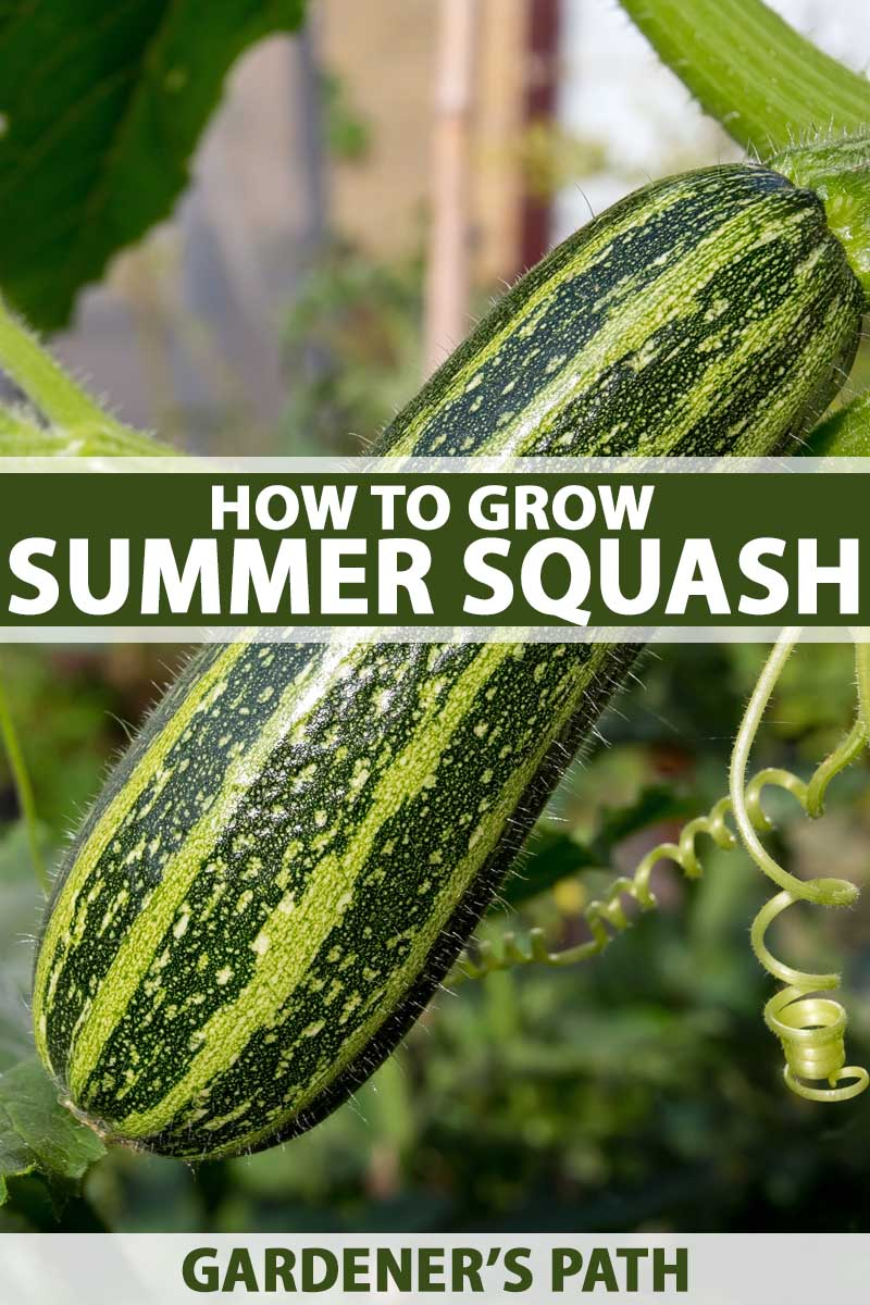 How To Grow Summer Squash Gardener S Path