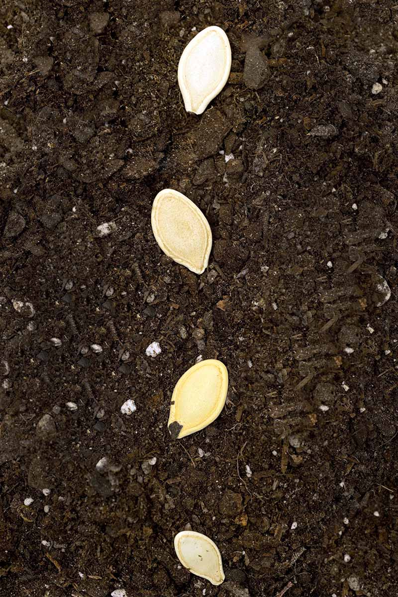 A vertical row of four beige squash seeds on top of dark brown potting soil.