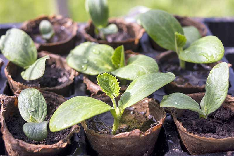 Small summer squash seedlings growing in brown potting soil in peat pots.