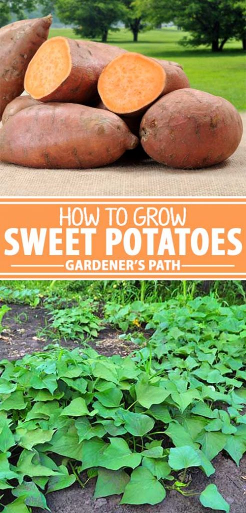 A collage of photos showing different views of sweet potatoes growing in a garden.