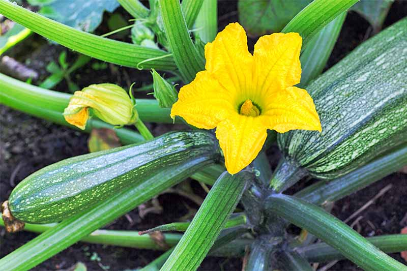A bright yellow squash blossom with zucchini growing on a plant with thick stems in dark brown soil.