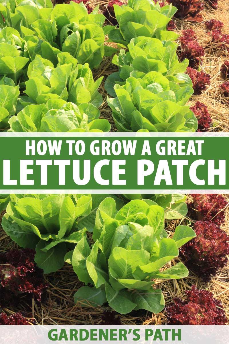 Heads of buttercrunch lettuce growing in a garden.