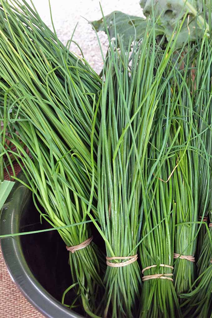 Long chives wrapped in bundles with rubber bands, in a black bucket.