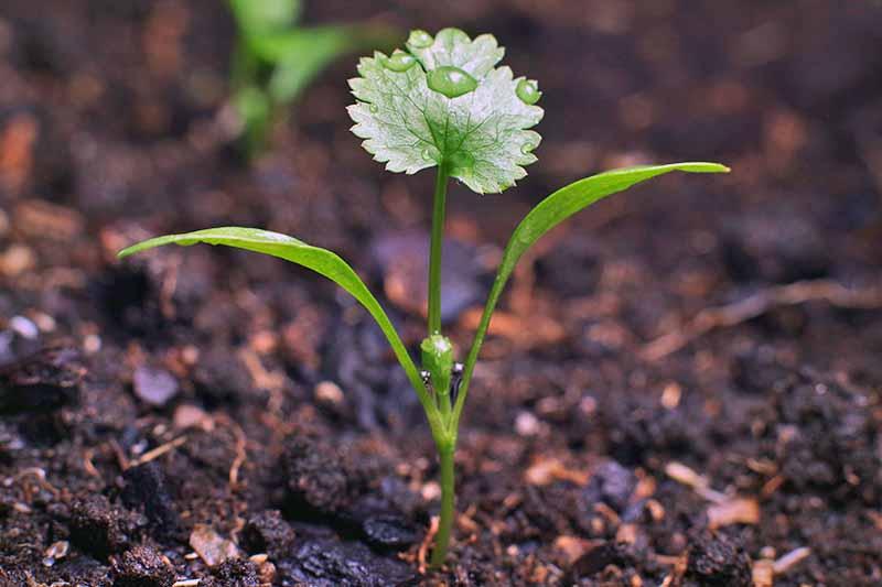 A tiny green coriander seedling growing in dark brown soil.