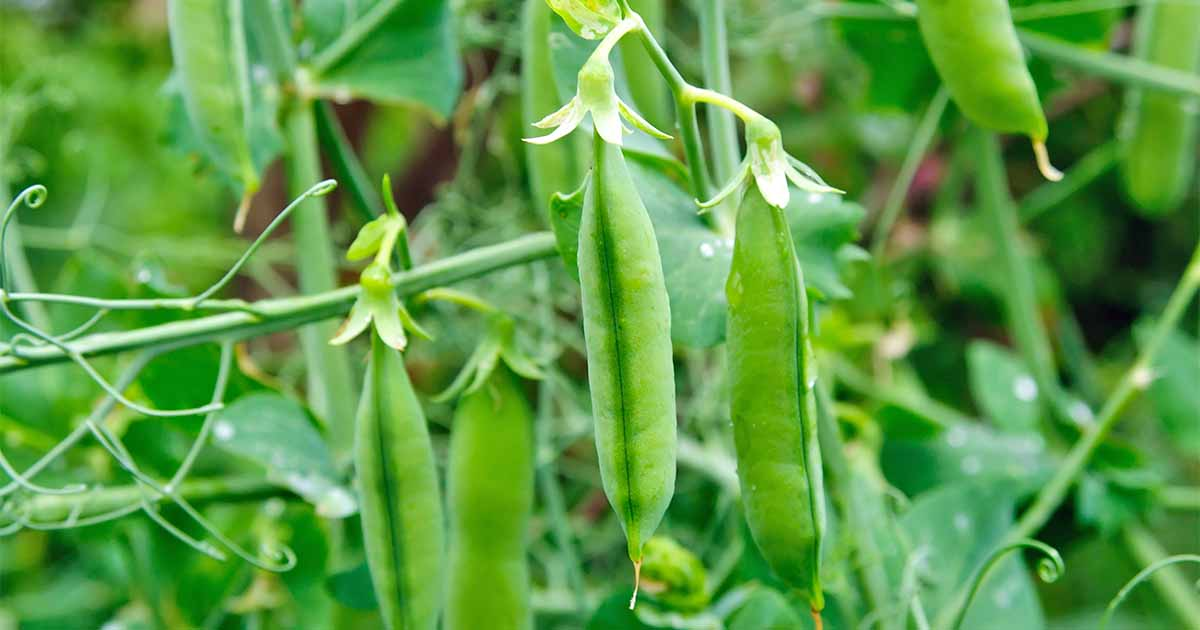 Learn How To Plant And Grow Peas At Home Gardener S Path