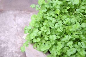 Love it or Hate it, Cilantro Is Easy to Grow