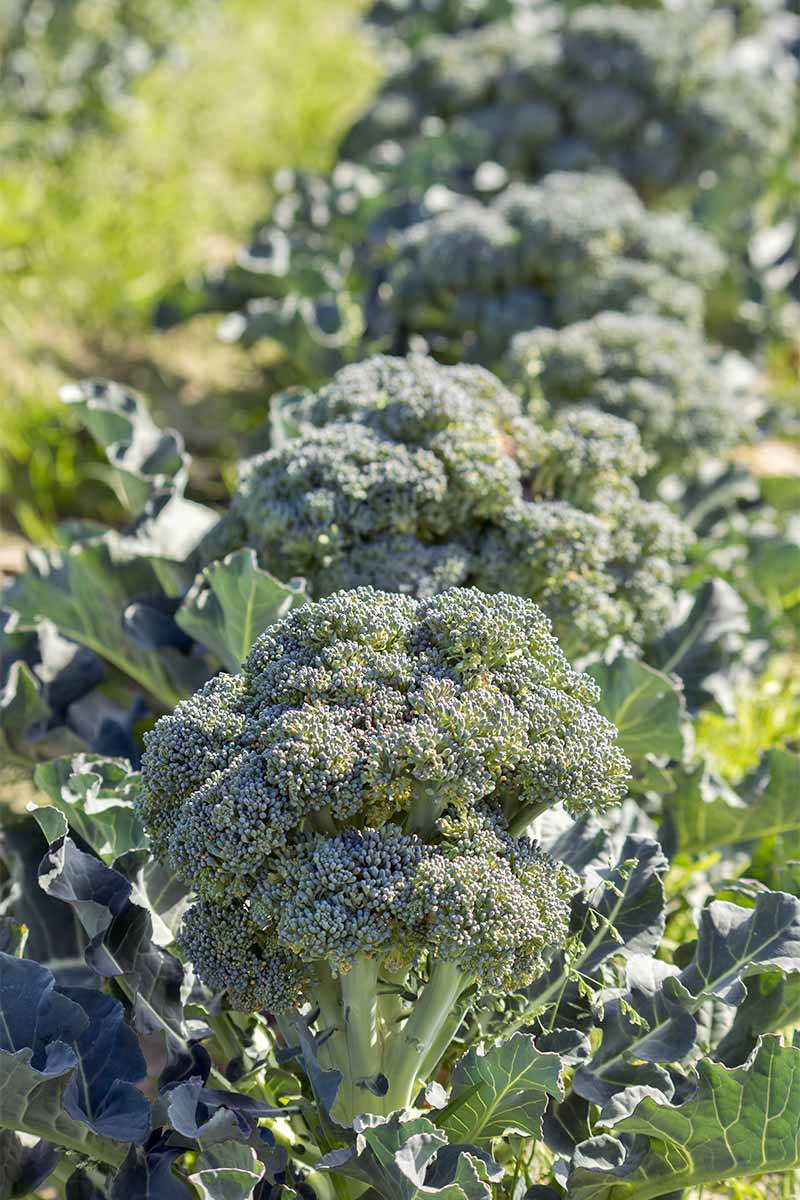 A row of broccoli growing in the garden.