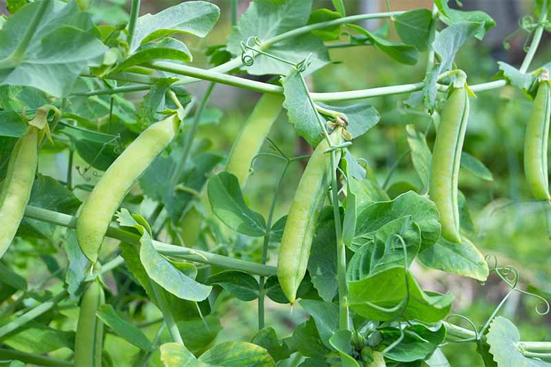 Six light green pea pods growing in a row on a plant with darker green leaves.