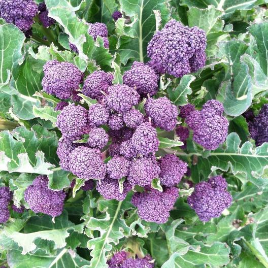 Purple Sprouting Broccoli Seeds