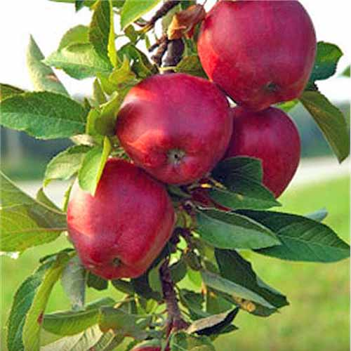 Four 'Red Jonathan' apples growing on a tree branch with green leaves, with green grass in the background.