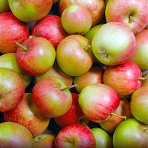 A pile of red and green 'Stayman Winesap' apples.