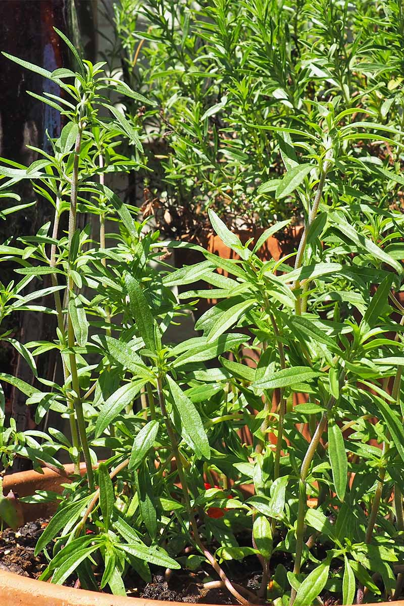 Vertical closeup image of green summer savory growing in bright sunshine.
